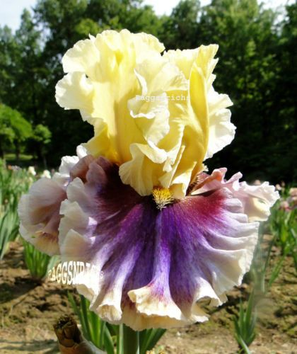 "Tall-Bearded-CARNIVAL-CAPERS-Iris-SHOWY-FRAGRANT-RUFFLES-  36""  ML"