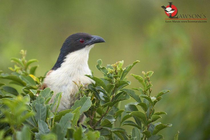 Burchell's Coucal, the ardent nest-raider.