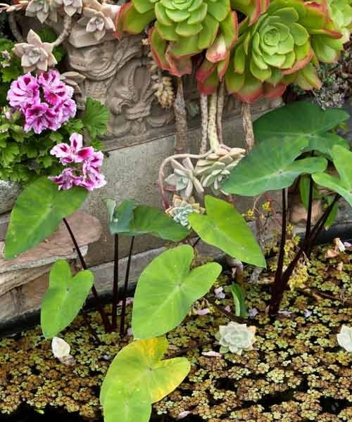 This DIY pond is stocked with goldfish and mosquito fish, calla lilies (Zantedeschia aethiopica), whose leaves resemble elephants' ears, the draping succulent  aeonium (A. arboretum), and pink-and-white  'Lemon Rose' geraniums. | Photo: Mark Lohman | thisoldhouse.com