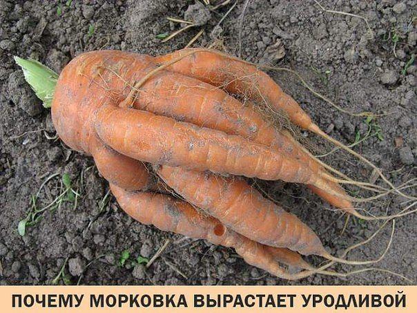 ✔ Основные причины, почему растет корявая морковь | Дачный советник