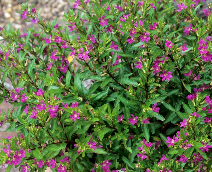 mexican heather landscaping - Google Search | Flora at the ...
