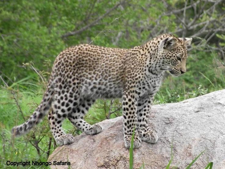 Leopard 23