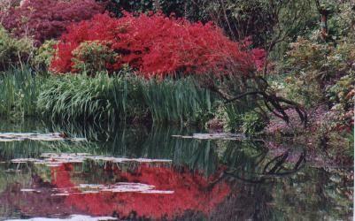List of Plants in Monet's Garden: Arbres / Trees-    Saules pleureurs / Weeping willow-  Saules têtards / Willow-  Peupliers / Poplar-  Bambous / Bamboo-  Bambous noirs / Bambusa nigra-  Cognassiers du Japon / Quince tree of Japan-  Cerisiers du Japon / Cherry tree of Japan-  Pommiers du Japon / Apple tree of Japan-  Aulnes / Alder-  Arbre de Judée-  Frênes / Ash tree-  Ginkgos-    Plantes / Plants:     Rhododendrons-  Azalées / Azalea-  Pivoines arbustives tardive / Peony-  Agapanthes-…