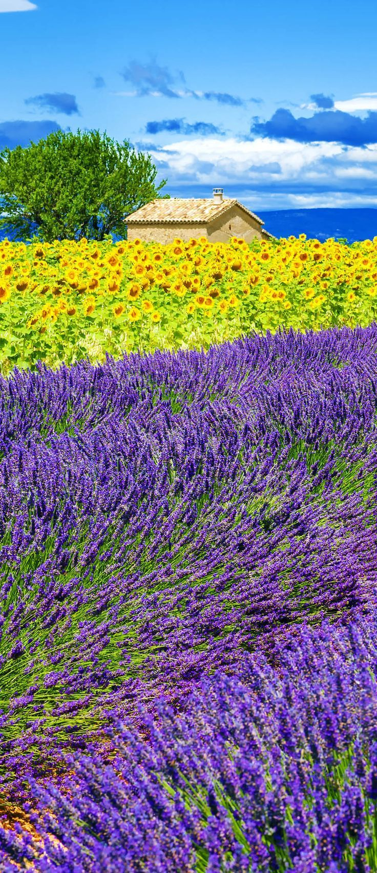 Scenic Lavender and Sunflower Field with Tree in Provence, France