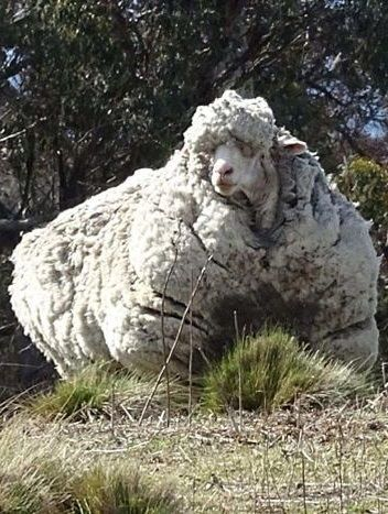 World record sheep found in Canberra, Australia.