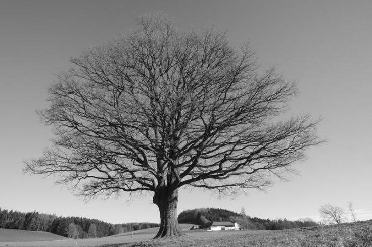 """""""Stieleiche (Naturdenkmal)in Manning bei Ottnang"""" (Bild: Herbert Steininger)"""