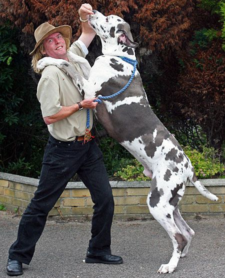 10 Surprising Facts About The Great Dane | Dog Reflections