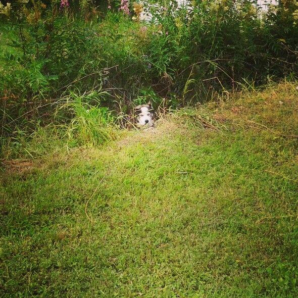 Hide and seek! One normal day @Loihakka Husky Kennel