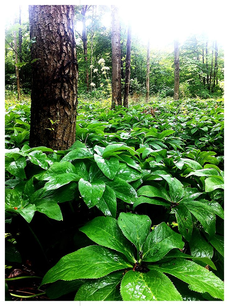 Woodland - Thor Nitzelius park Alnarp Sweden a Sea of Hellborus #gardensofscandinavia #gardensofsweden