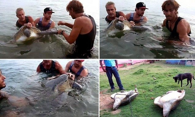 Tourist rescues endangered turtles that were tied up and left to die as demand for meat grows.  How I wish I could've been there to help and bitch-slap the poacher who tried to kill those poor turtles!