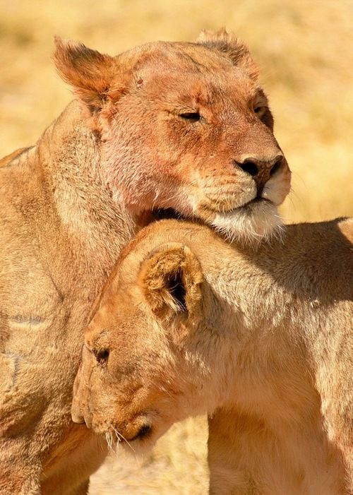 Lionesses, Namibia by Tim Moss