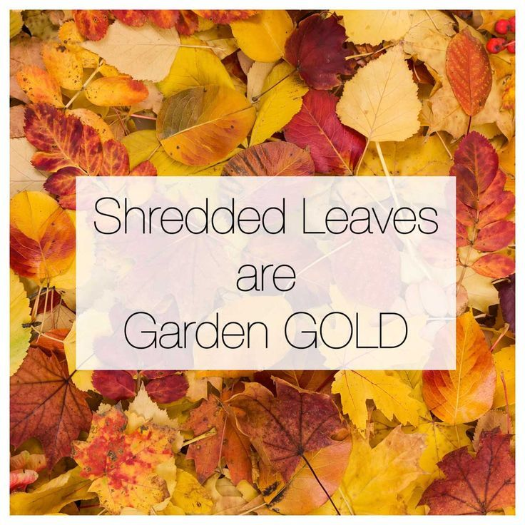 For gardeners, shredded leaves are a free and valuable resource! They improve the soil and are a premium organic mulch for flowers and vegetables.