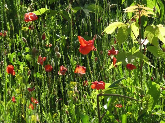 Poppies At Valhalla Montreal! So nice its finally summer :) #poppies #flowers #Gardening #summer #Sustainable #permaculture #garden #montreal: http://montreal.valhallamovement.com/