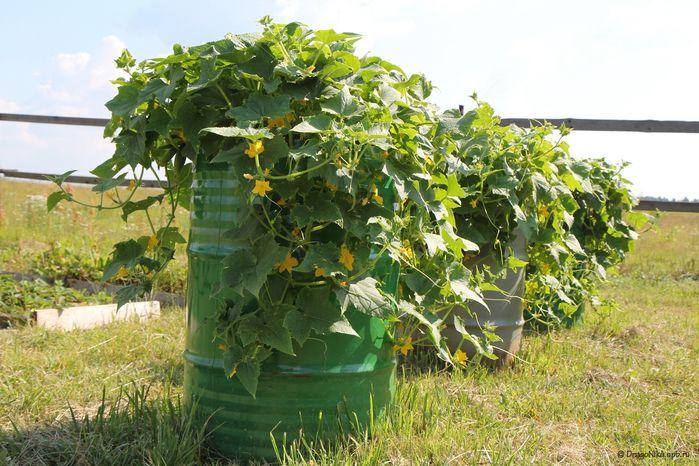 Весенние дни и яркое солнце так и манит в сады и на участки. Хочется обязательно испробовать новые идеи выращивания овощей, цветов, фруктов. Если у вас не очень большой огород и дача, возьмите себе на…