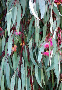 colours - green and pink wattle