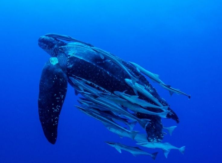 The Leatherback Strikes Back