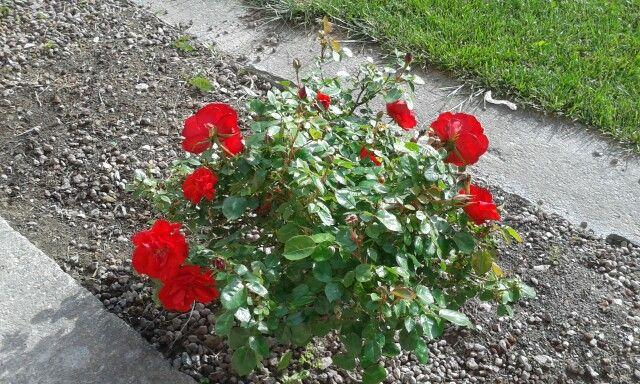Le rose rosse