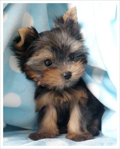 what a sweet little Yorkie! ♥
