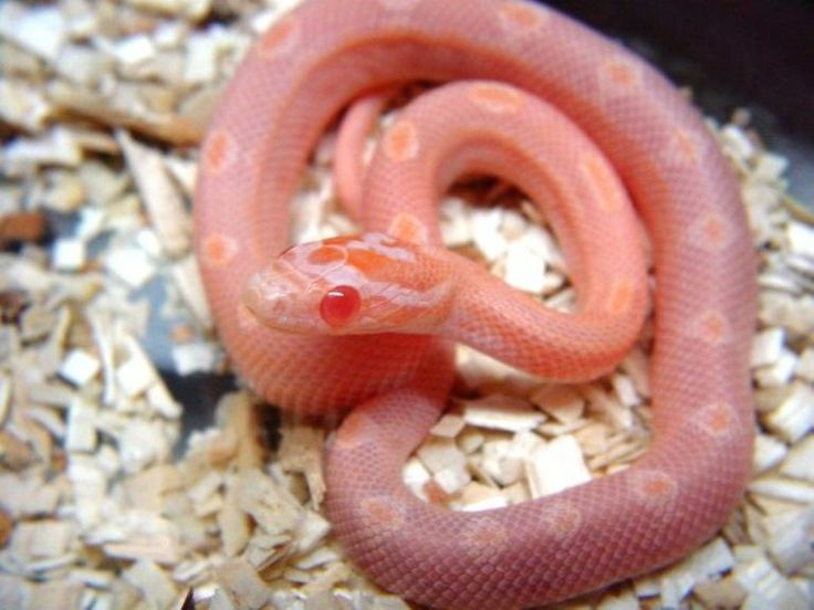 Images of Opal Motley Corn Snake - www industrious info