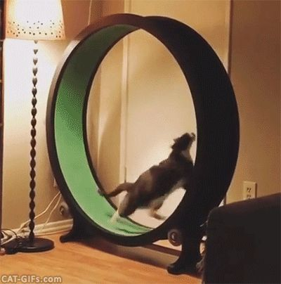 CAT GIF • Amazing Cat running fast like crazy on his exercise wheel. Go... Go... Go...