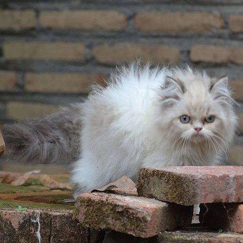 kittensoftheworld:  Sale kucing persia flatnose betina 1jt call 085643457457 pin 527d4740 cod jogja.kirim2 ok . #cat #catlovers #catshop #catshopmurah #instanusantaradiy #instanusantara #kucing #kucingmurah #kucingpersia #peaknose #kucingpersiamurah #kitten #kittenmurah #and