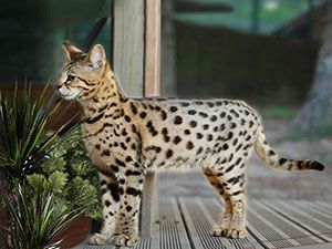 Video Of A Savannah Cat Being Walked