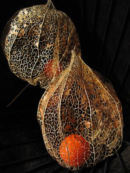 delicate skeletal structure of a Chinese lantern seed head ... Largo Baywatch