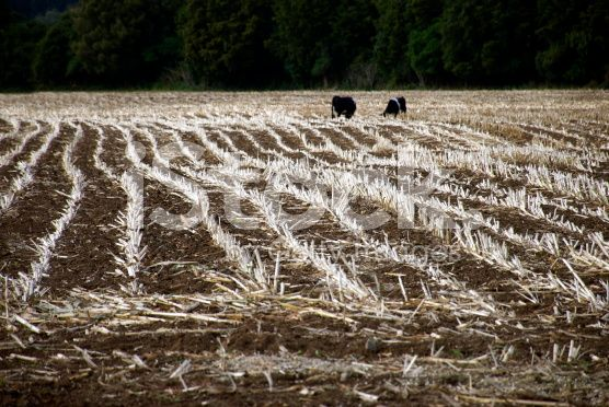 Maize Stubble Lines in Field with Distant Cows royalty-free stock photo