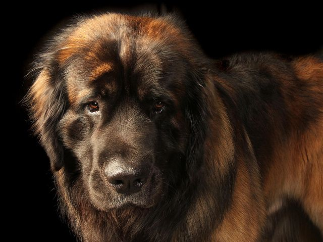 The Leonberger is a giant dog breed. The breed's name derives from the city of Leonberg in Baden-Württemberg, Germany. According to legend, the Leonberger was ostensibly bred as a 'symbolic dog' that would mimic the lion in the town crest. It is in the Working Group for dog shows such as Crufts, but not at the World Dog Show.
