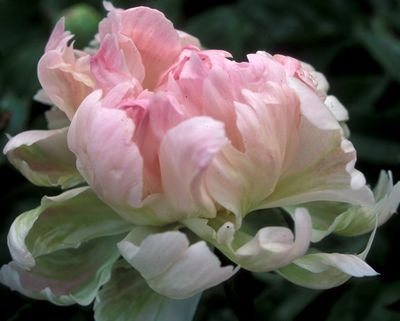 Klehm's Song Sparrow Farm and Nursery--PEONY--'Pink Jitterbug'