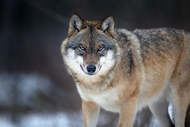 Let's read facts about three different types of wolves namely red wolf, gray…