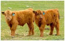 Bildergebnis für Highland cattle