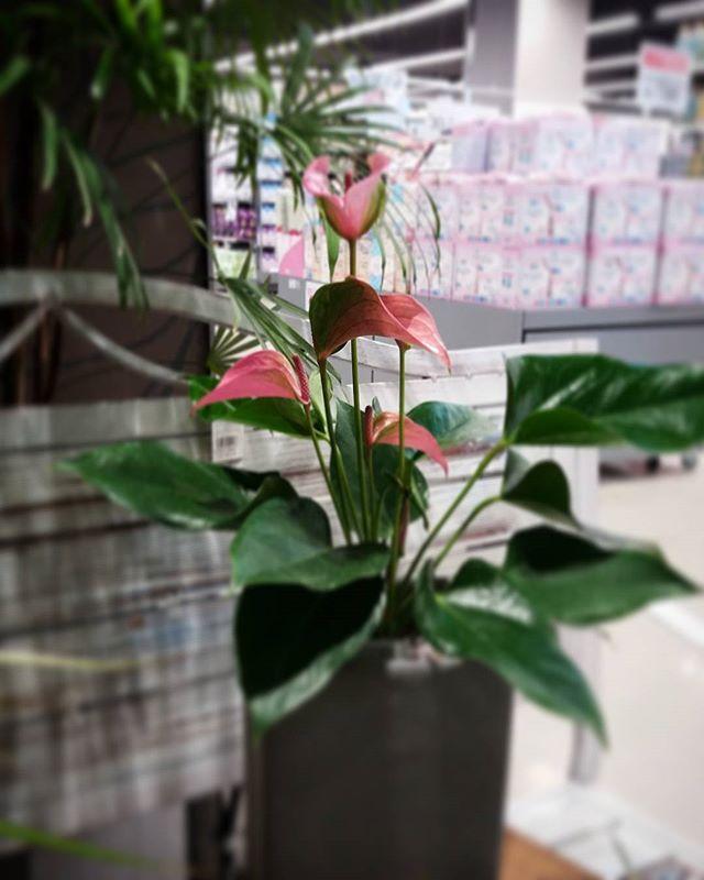 #안스리움#페이지그린 #페이지그린은평 #은평롯데몰 #관엽식물 #꽃