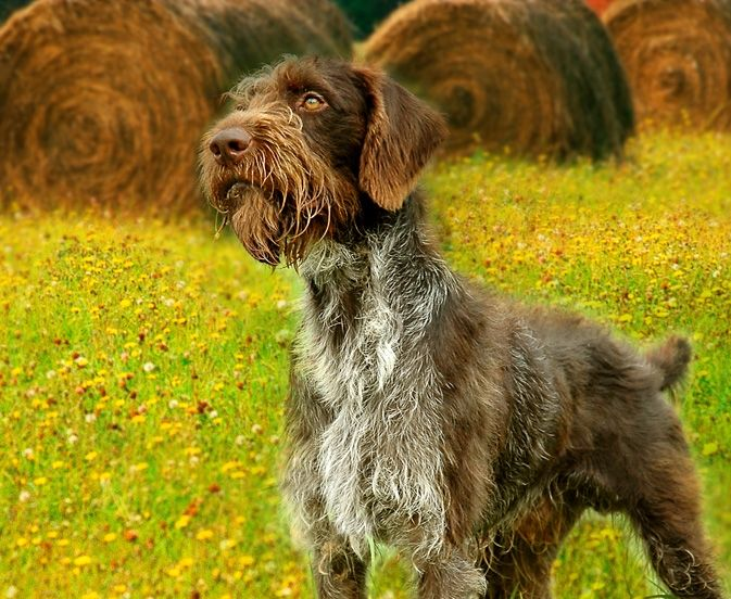 This is Butch. A German Wirehair Pointer.
