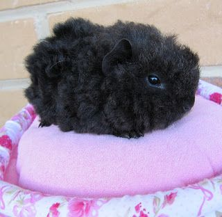 Baby guinea pig - I wonder what breed it is... It looks like a black ball of wool! <3