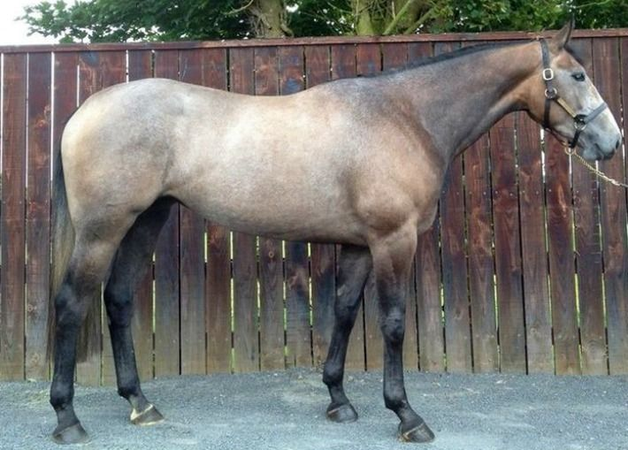 Irish Hunter or Irish Sport Horse. Developed by crossing Irish Draft Horses with thoroughbreds. A top competitor at show jumping and eventing.