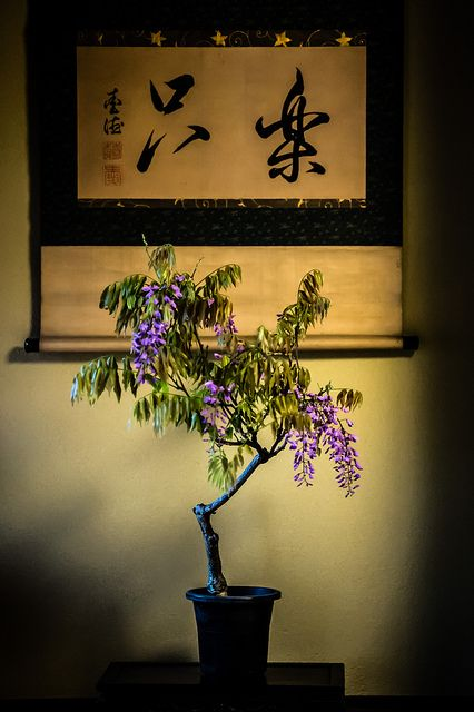 Wisteria bonsai on Tokonoma alcove