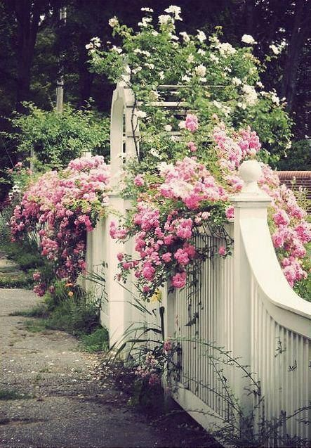 Pretty pink climbing roses on white fence