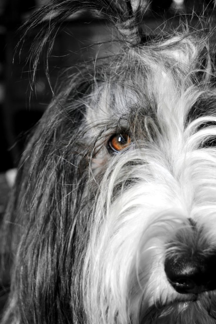 The Sunday Nina Bearded Collie // displaying a quintessential Beardie quality - soulful eyes & expression