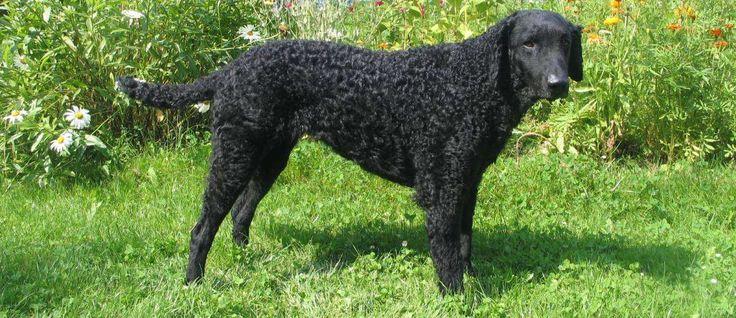 De Curly Coated Retriever is een van de oudste Retriever honden. Ze zijn ontwikkeld in Engeland en dit ras was een favoriet van de Engels jagers. De jagers bewonderden deze honden vanwege hun zachte ophalen mogelijkheden. Curly Coated Retriever's zijn zeer populair in Nieuw-Zeeland en Australië.