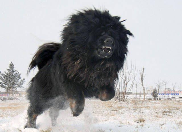 tibetan mastiffs | Majestic Tibetan Mastiff