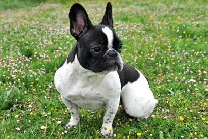 French Bulldog   Temperament & Personality