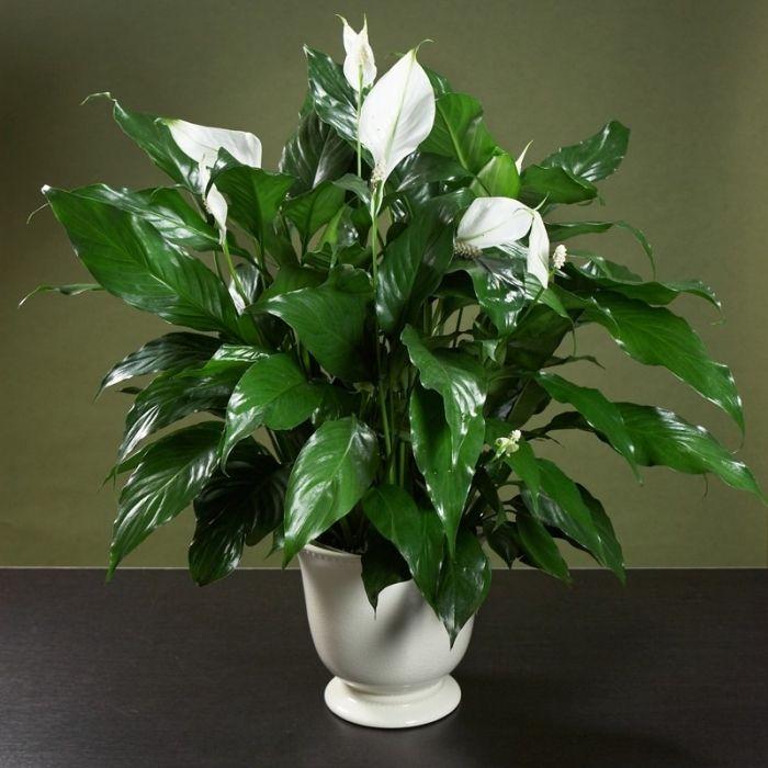 Этот цветок любит влажность и частые опрыскивания, это надо помнить. Абсолютно не переносит сквозняки. Зимой любит яркий свет, а летом полутень. Для домашних условий лучшего всего подходит спатифиллум Уоллиса. Это колумбийский вид с мощными розетками тонких, небольших листьев.
