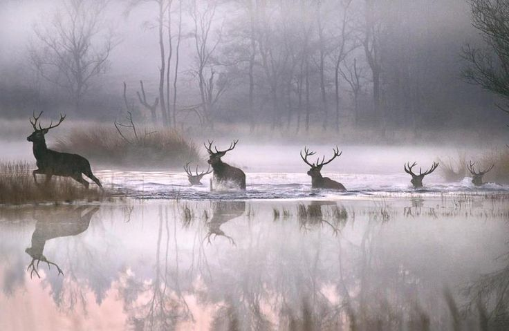 ctsuddeth.com: I have heard that deer swim to islands in the Ohio River