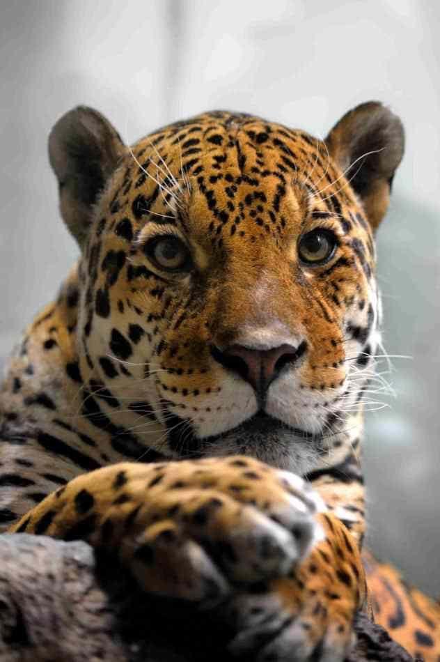 101 Facts About Jaguars North American Mammals Mammals Jaguar Cat Species