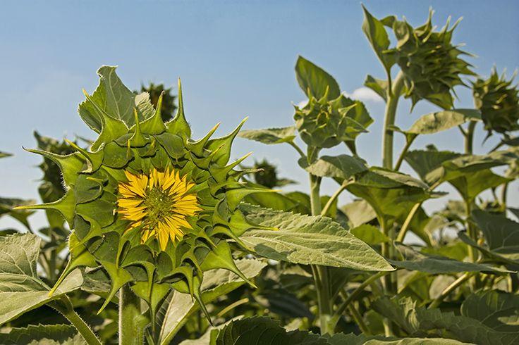 First sunflower of summer!