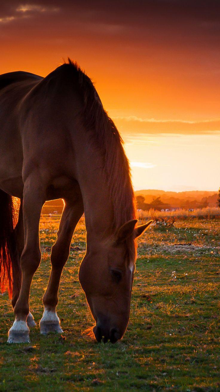 Sunset grazing. - Horse - Equine