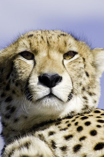 cheetah, tenikwa, south africa by cquigley on Flickr.