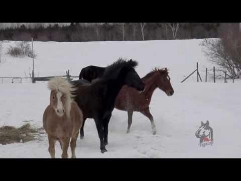 Les chevaux s'amusent avant la tempête du siècle , 14 mars 2017