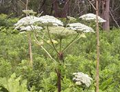 giant hogweed umbrella shaped flower cluster- invasive poisonous plant. Good to know what to look for in the woods.